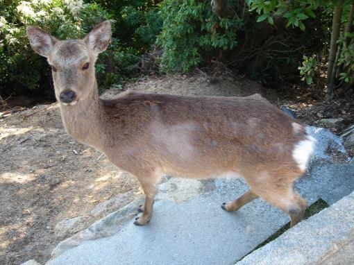 Deer 2, Miyajima, 3/27/2009